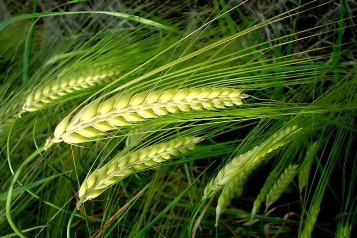 HvDen europæiske hvedefuture er fortsat købsaktuel.