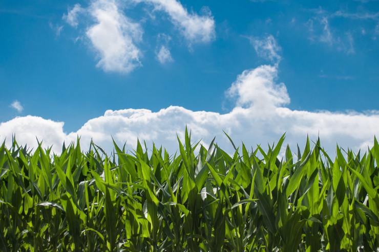 Spekulanterne er begyndt at købe majs efter skuffende høstresultat i USA.